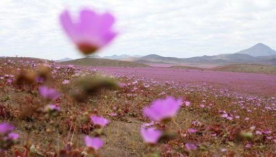 Ce désert du Chili est recouvert de fleurs, un phénomène rare