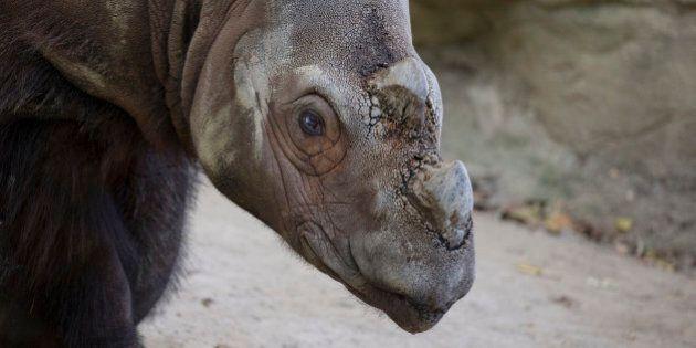 FILE - In this Wednesday, Oct. 22 file photo, Harapan, a Sumatran rhino, roams his enclosure at the Cincinnati...