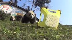 Voici ce que ça fait d'être mangé par un bébé panda