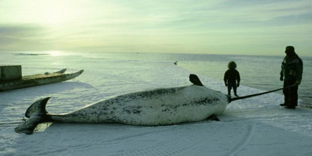 Narwhal, eskimo with hunted male, Baffin Island, Canadian