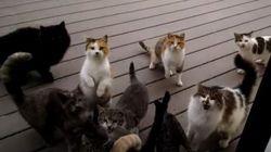 Voici comment nourrir une meute de chats affamés et (très) bruyants