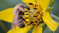 On les aime nos abeilles, encore plus lorsqu'elles sont