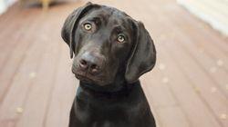 Un chien appelé Trigger tire une balle dans le pied de sa