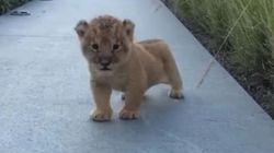 Ce bébé lion qui essaie de rugir va vous faire fondre