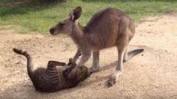 Ce kangourou est beaucoup trop gentil pour être ami avec ce chat