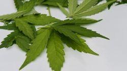 Première récolte de cannabis autorisé à des fins thérapeutiques au