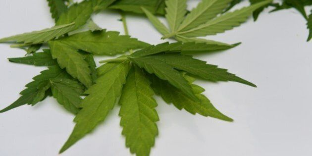 Picture of cannabis leaves taken at a lab in Santiago on April 7, 2015. Chile's congressional health...