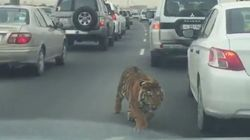 Un tigre prend l'autoroute à contresens