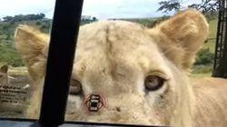 Les lions aussi savent ouvrir les