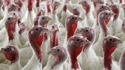 Cas de grippe aviaire dans un élevage de