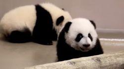 Les bébés pandas du zoo de Toronto reçoivent des noms très...