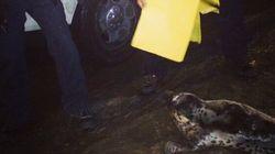 Pendant ce temps à Halifax, un phoque se promène proche du