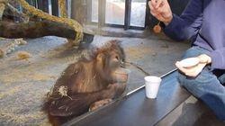 Un petit orang-outan éclate de rire devant un tour de magie