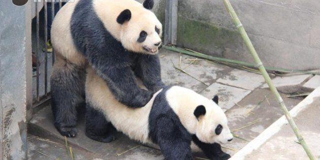 Ce couple de pandas a battu un record de durée pour une relation sexuelle (PHOTOS