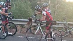 Assoiffé, un koala arrête un cycliste pour boire dans sa bouteille