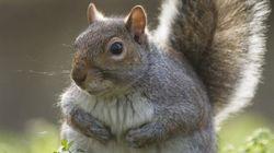 Voyez pourquoi les écureuils sont plus gros cette