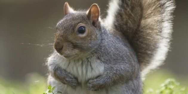 Grey Squirrel (Sciurus carolinensis), backlit grey squirrel with bushy tail, Regents Park, London,