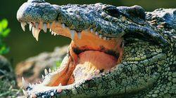 Il se jette dans un étang pour fuir la police, un alligator le