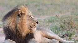 Des lions stars de la télé empoisonnés au