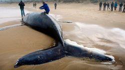 Plus de 300 baleines échouées en