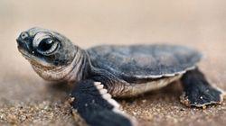 Pour passer les douanes, un Canadien cache ses tortues dans... son