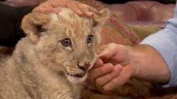 Un bébé tigre et un lionceau s'amusent sur un plateau de télé