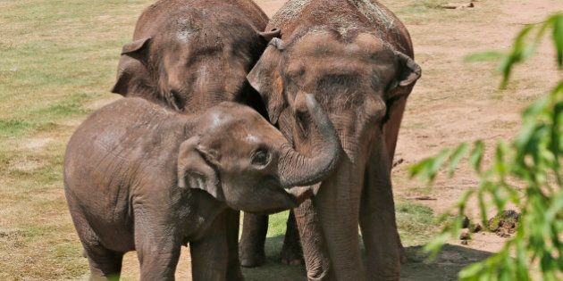 Malee, left, a four-year old Asian elephant, interacts with her aunt Chandra, center, who will turn 20...
