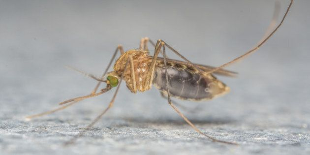A Macro photo of a MosquitoA Macro photo of a
