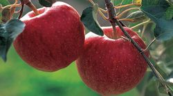 Vers libres pour une pomme