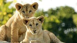 Pourquoi les lions sont-ils peu nombreux? Une étude de McGill apporte des
