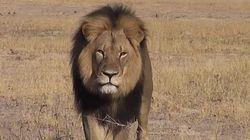 Un célèbre lion tué par un riche chasseur