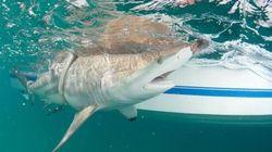 Des milliers de requins s'invitent à Palm Beach