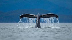 La Commission baleinière indécise sur le plan de chasse