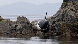 Voyez le sauvetage épique d'une orque