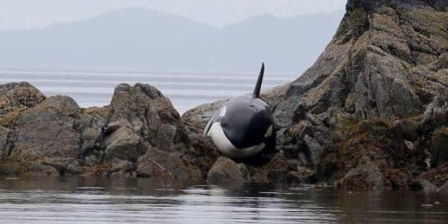 Sauvetage épique d'une orque échouée sur des rochers
