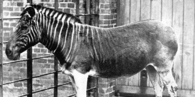 Le quagga, sous-espèce du zèbre disparue il y a 130 ans, ressuscite grâce à la