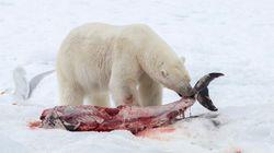 Les ours polaires commencent à manger du dauphin à cause du réchauffement