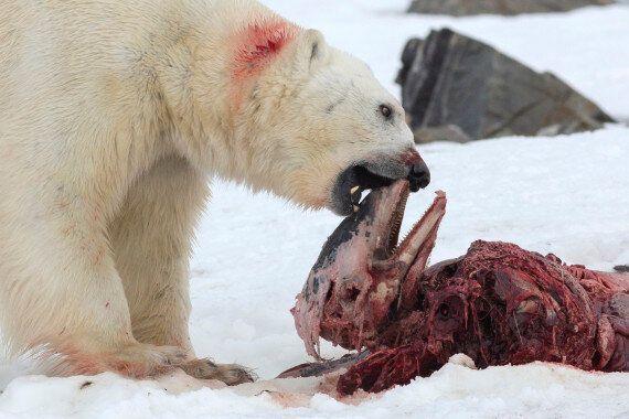 Conséquence du réchauffement climatique, les ours polaires commencent à manger du
