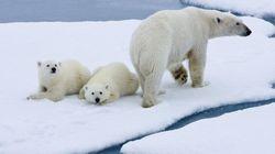 Le réchauffement climatique menace grandement les ours