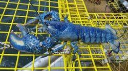 Plus de homards aux couleurs insolites cette