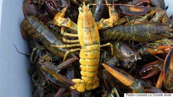 Pêche : Plus de homards aux couleurs insolites cette