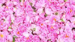 Secret des grands parfums, la rose bulgare a désormais son