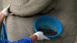 Du café extrait de bouses d'éléphants vendu à prix