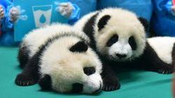 La pouponnière de ces 13 bébés pandas est l'endroit le plus mignon du monde