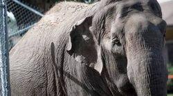 Pas de manteau pour l'éléphante