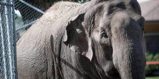 Pas de manteau cet hiver pour l'éléphante Lucy, du zoo d'Edmonton