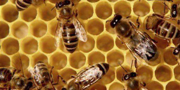 Plus d'une abeille sur six est morte cette année au