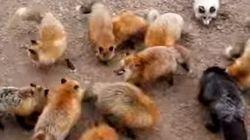 Un village de renards voit le jour au Japon
