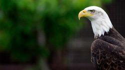 Des «aigles à tête blanche» reconstruisent leur nid, une première en 100