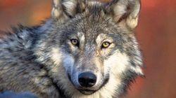 La Colombie-Britannique va abattre des loups pour protéger des